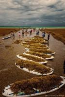 Нашествие водорослей на Бонейр