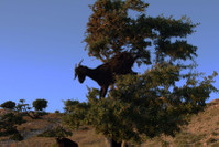 плоды арганового дерева- деликатес для коз...