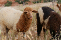 уж очень красивая овечка